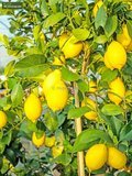 Citrus limon - Hauteur totale 160-180 cm - Ø 26 cm pot_