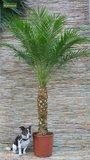 Phoenix roebelenii - tronc 30-40 cm - Hauteur totale 120-140 cm  - Ø 27 cm pot_
