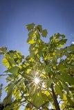 Paulownia tomentosa - circumérence 4-6 cm - hauteur totale 180+ cm - pot Ø 35 cm_