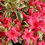 Rhododendron Bollywood - hauteur totale 35-45 cm - pot 3 ltr_