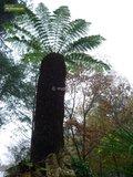 Dicksonia antarctica - hauteur totale 60-80 - pot Ø 22 cm_