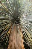 Yucca rostrata - hauteur totale 100-120 cm - pot Ø 38 cm_