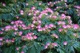 Albizia julibrissin set van 2 - Rouge + Ombrella boubri - hauteur totale 30+ - pot Ø 17 cm_