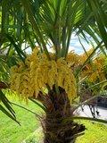 Trachycarpus fortunei - tronc 30-40 cm - hauteur totale 120-140 cm - pot Ø 31 cm + 10 ltr terreau pour palmiers_