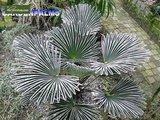 Trachycarpus wagnerianus - tronc 20-30 cm - hauteur totale 80-100 cm - pot Ø 30 cm_