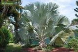 Bismarckia nobilis - hauteur totale 40-50 cm - pot 14 cm_