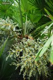 Trachycarpus fortunei - tronc 100-120 cm - hauteur totale 200-250 cm - pot Ø 50 cm [palette]_