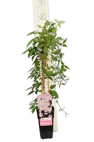 Clematis montana 'Mayleen' - 2 Ltr pot