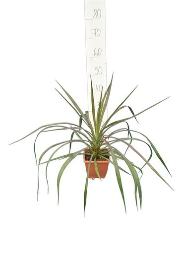 Yucca aloifolia P14