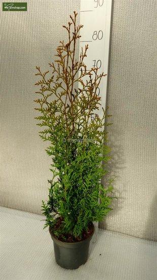 Thuja occidentalis Brabant 2 ltr pot - Hauteur totale 50-70 cm