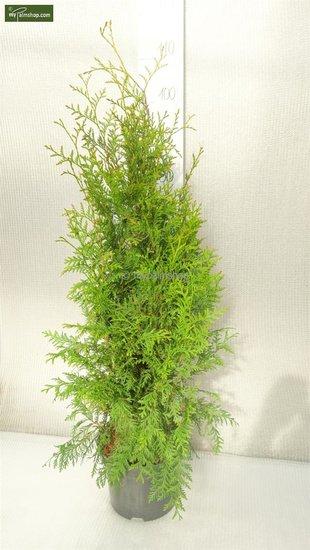 Thuja occidentalis Brabant 5 ltr pot - Hauteur totale 80-100 cm