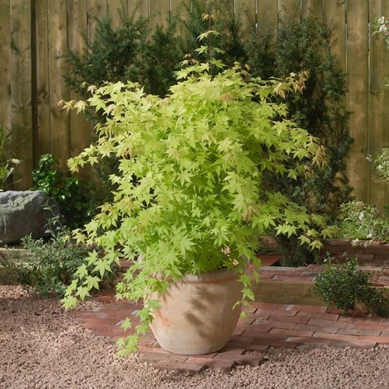Acer Palmatum 'Summer Gold' - pot 3 Ltr - Hauteur totale 60-80 cm