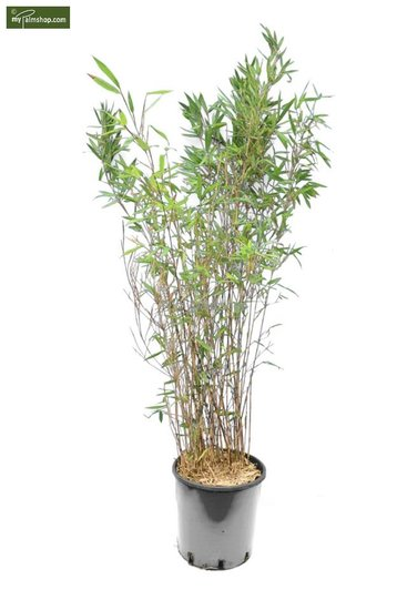 Fargesia Winter Joy 10 Ltr pot - Hauteur totale 120-150 cm