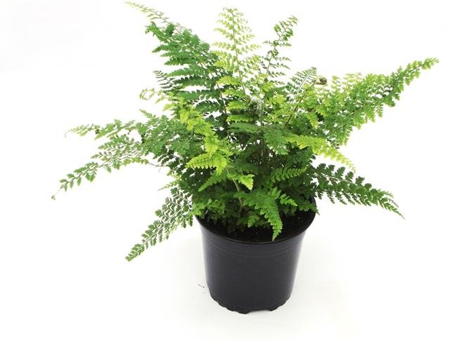 Polystichum proliferum pot 0,7 ltr