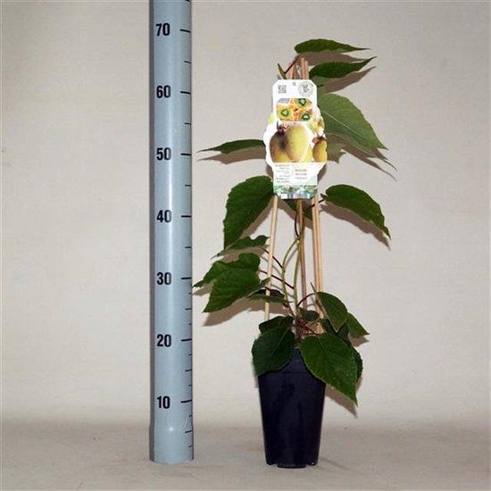 Actinidia chinensis Hayward 2 ltr