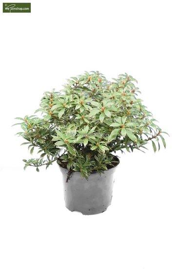 Pieris japonica Little Heath