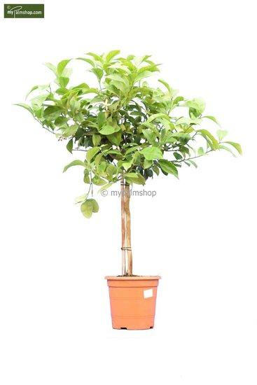 Citrus limon tronc 30-40 cm