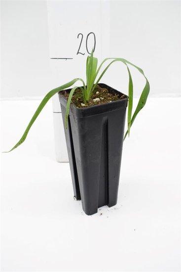Yucca constricta pot: 0,7 ltr.