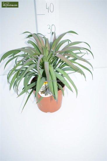 Yucca aloifolia Purpurea Hauteur totale 30-40 cm