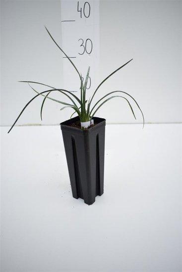 Yucca elata 0.7 ltr