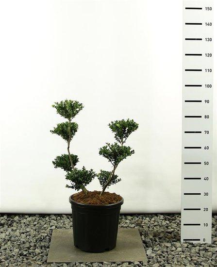 Ilex crenata Green Hedge multiplateau 80-100 cm