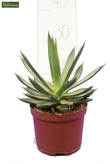 Agave Burnt Burgundy pot Ø 13 cm