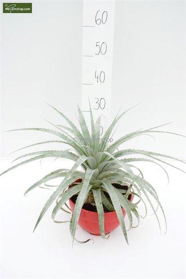 Puya harmsii pot: Ø 20cm