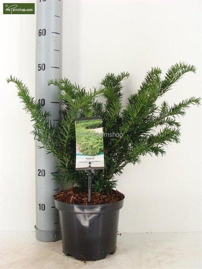 Taxus baccata Repandens pot Ø 19cm