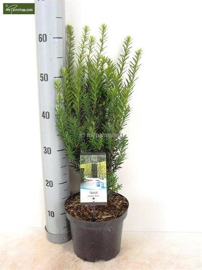 Taxus media 'Hillii' pot: Ø 19cm