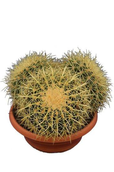 Echinocactus grusonii multihead pot Ø 28 cm