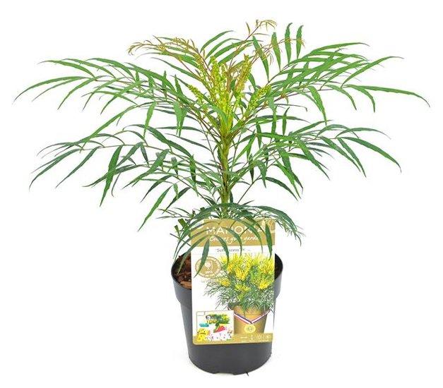 Mahonia eurybracteata Soft Caress pot Ø 13 cm
