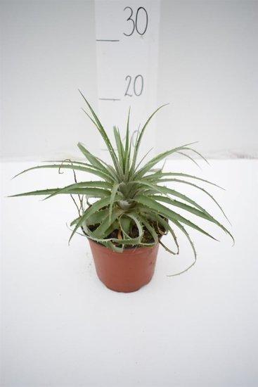 Puya venusta Ø 14 cm pot