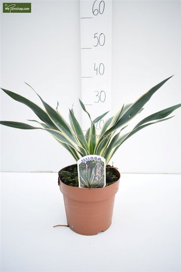Yucca gloriosa Variegata pot ⌀ 18 cm