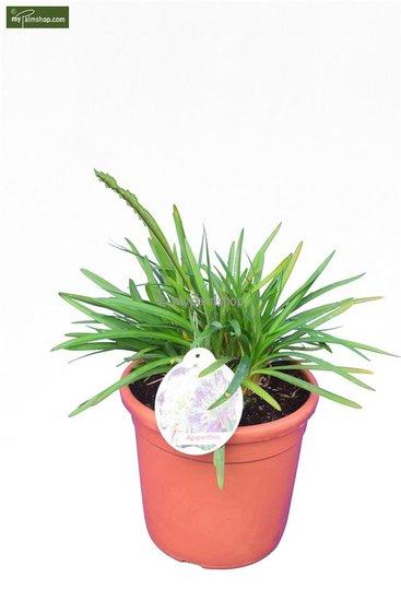 Agapanthus africanus (bleue) Ø 24 cm pot