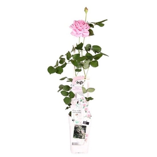 Rosa Crazy in Love climbers Rose 2 ltr