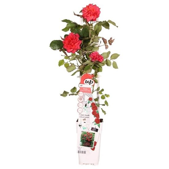 Rosa Crazy in Love climbers Rouge 2 ltr