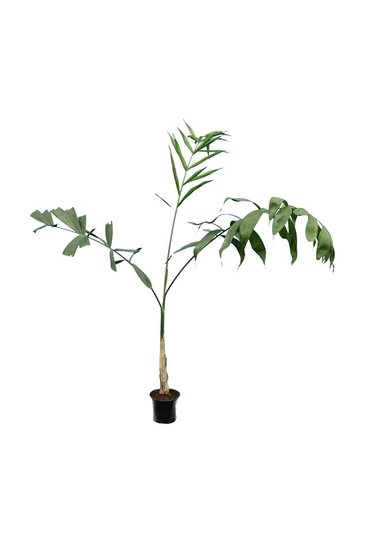 Chamaedorea microspadix Hauteur totale 100-120 cm