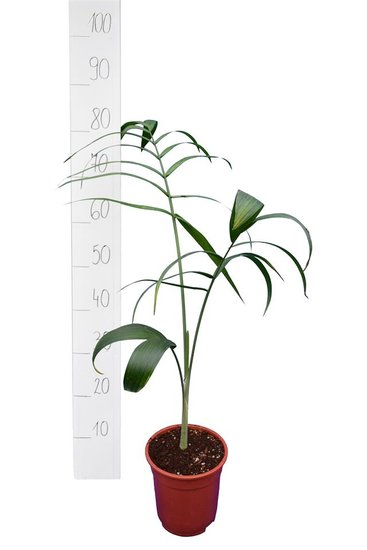 Chamaedorea radicalis pot Ø 13 cm hauteur totale 80+ cm