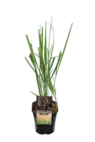 Calamagrostis acutiflora Karl Foerster 2 ltr