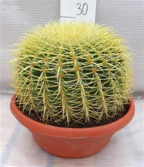 Echinocactus grusonii pot Ø 22 cm