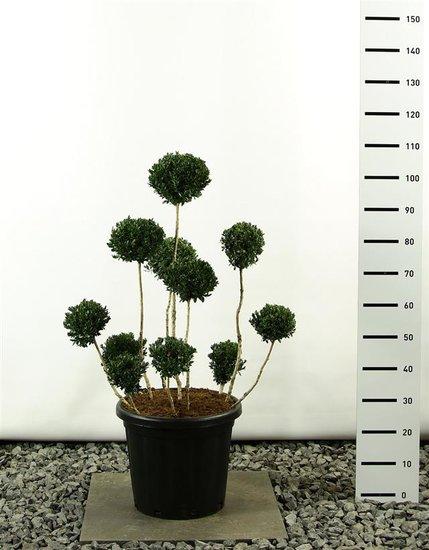 Buxus sempervirens multibol 100-125 cm