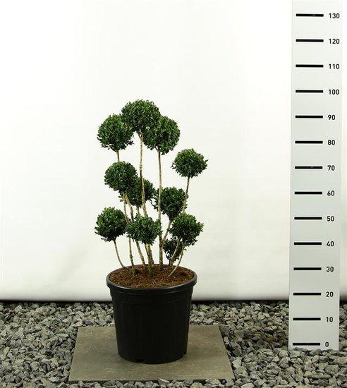 Buxus sempervirens multibol 80-100 cm