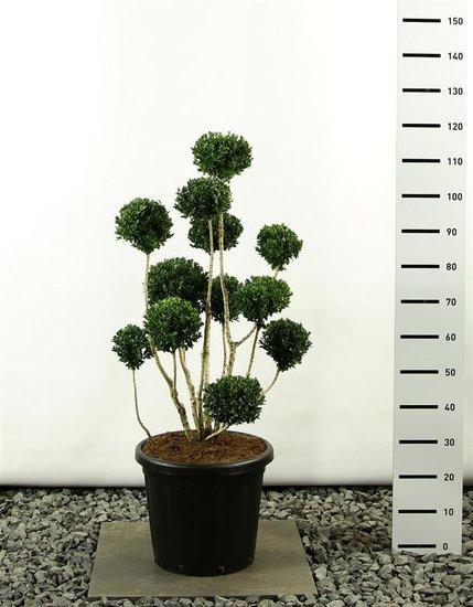 Buxus sempervirens multibol 125-150 cm