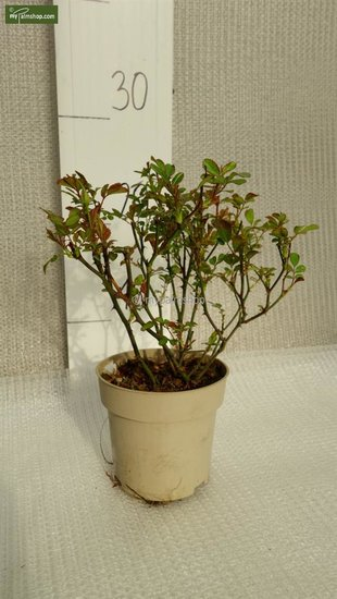 Rosa The Fairy Ø 11 cm pot