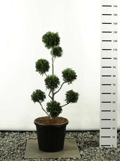 Thuja plicata Martin Multibol - Hauteur totale 100-125 cm