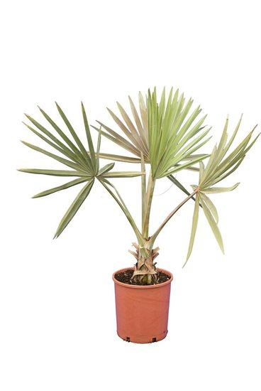 Bismarckia nobilis hauteur totale 100-120 cm