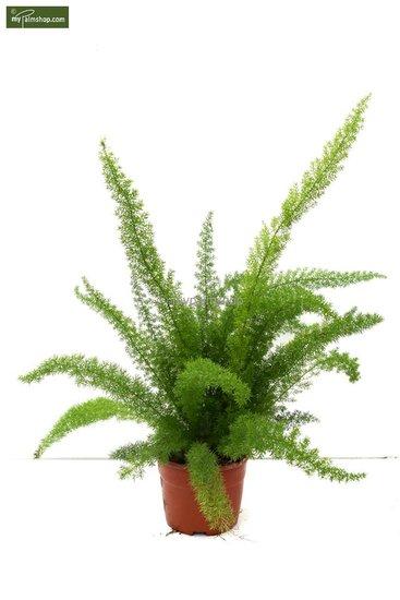 Asparagus meyeri pot: Ø 18cm hauteur totale: 60- 70cm