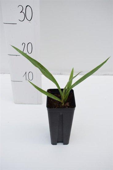 Yucca potosina 0.7 ltr