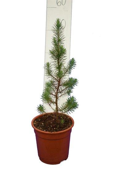 Pinus pinea pot Ø 17 cm