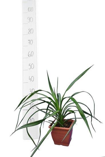 Yucca aloifolia - Hauteur totale 35-45 cm - pot 14x14 cm